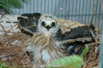 Mississippi Kite rescued by Orphaned Bird Care.  Transferred to Center for Birds of Prey, Charleston, SC.